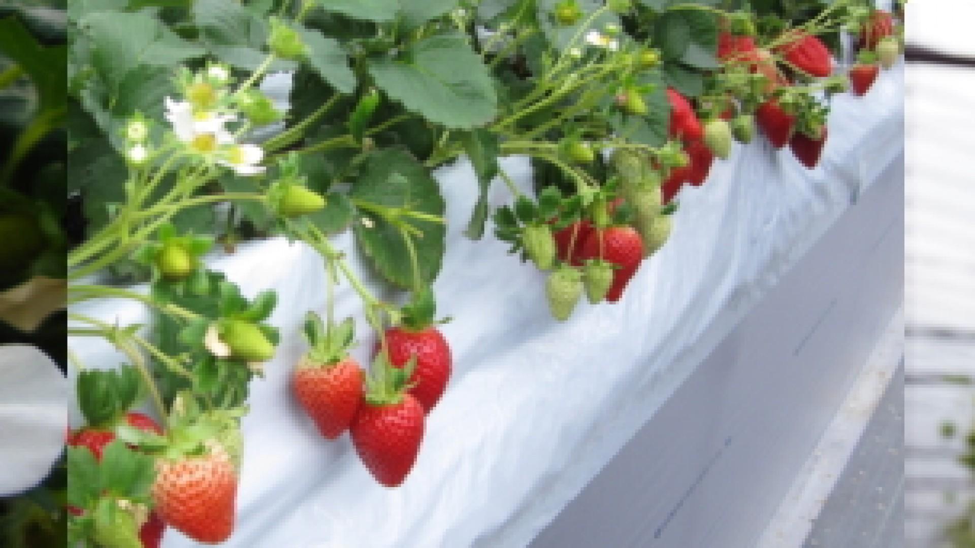 Katano Erdbeerfarm