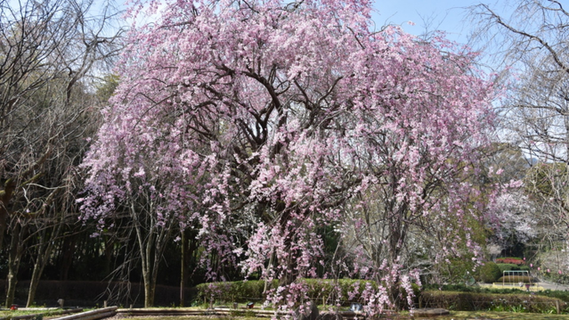 Manazuru Shidarezakura(cherry blossoms)
