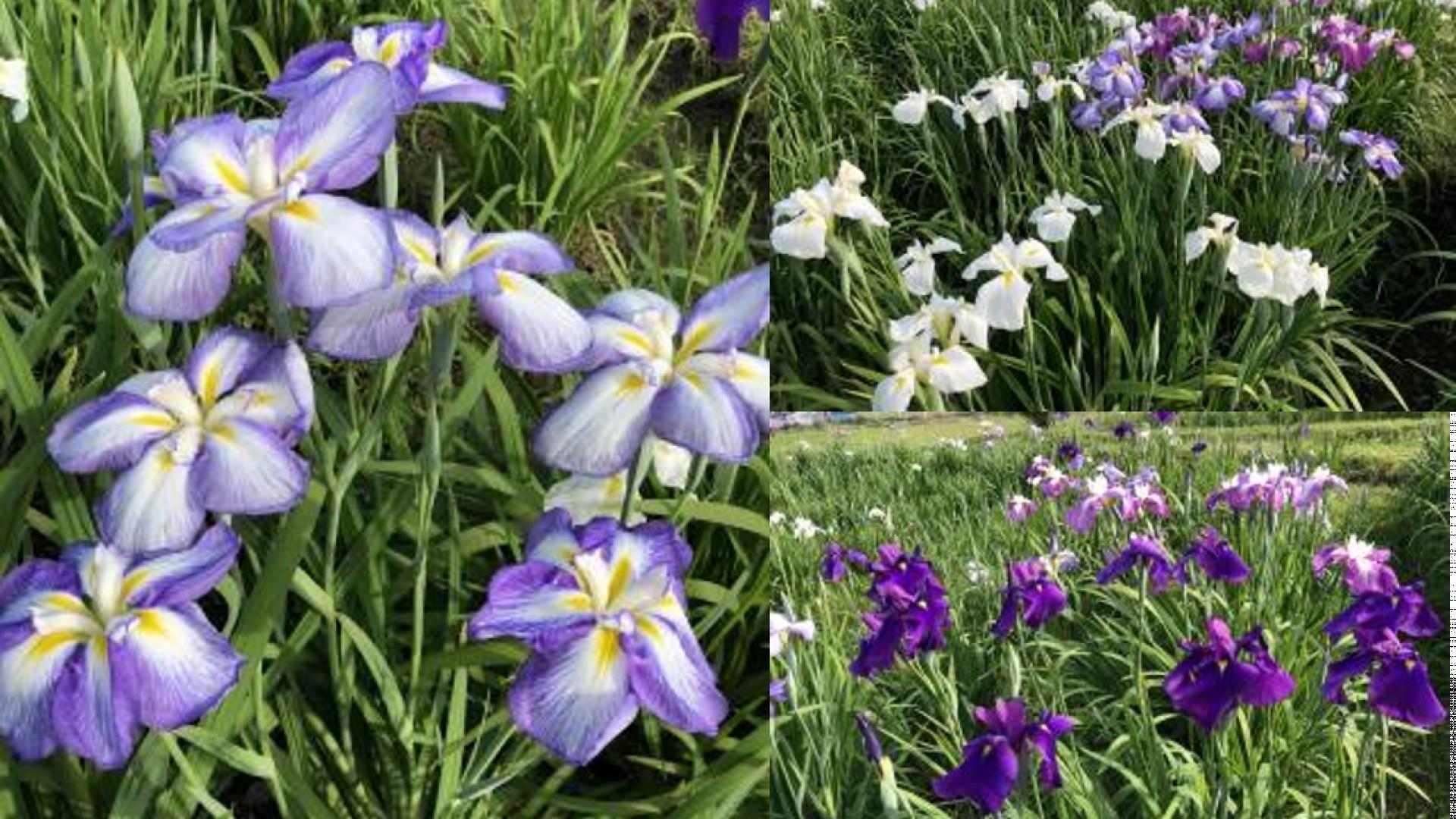 Le jardin d'Iris Seseragi no Sato et le sentier riverain