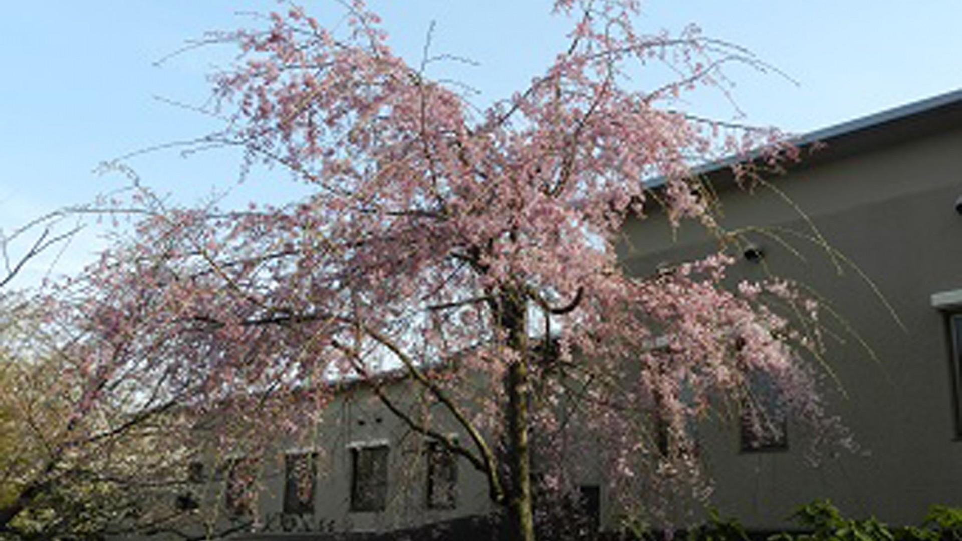 Nagakura Bihada Sakura (Kamigo・Mori no ie)