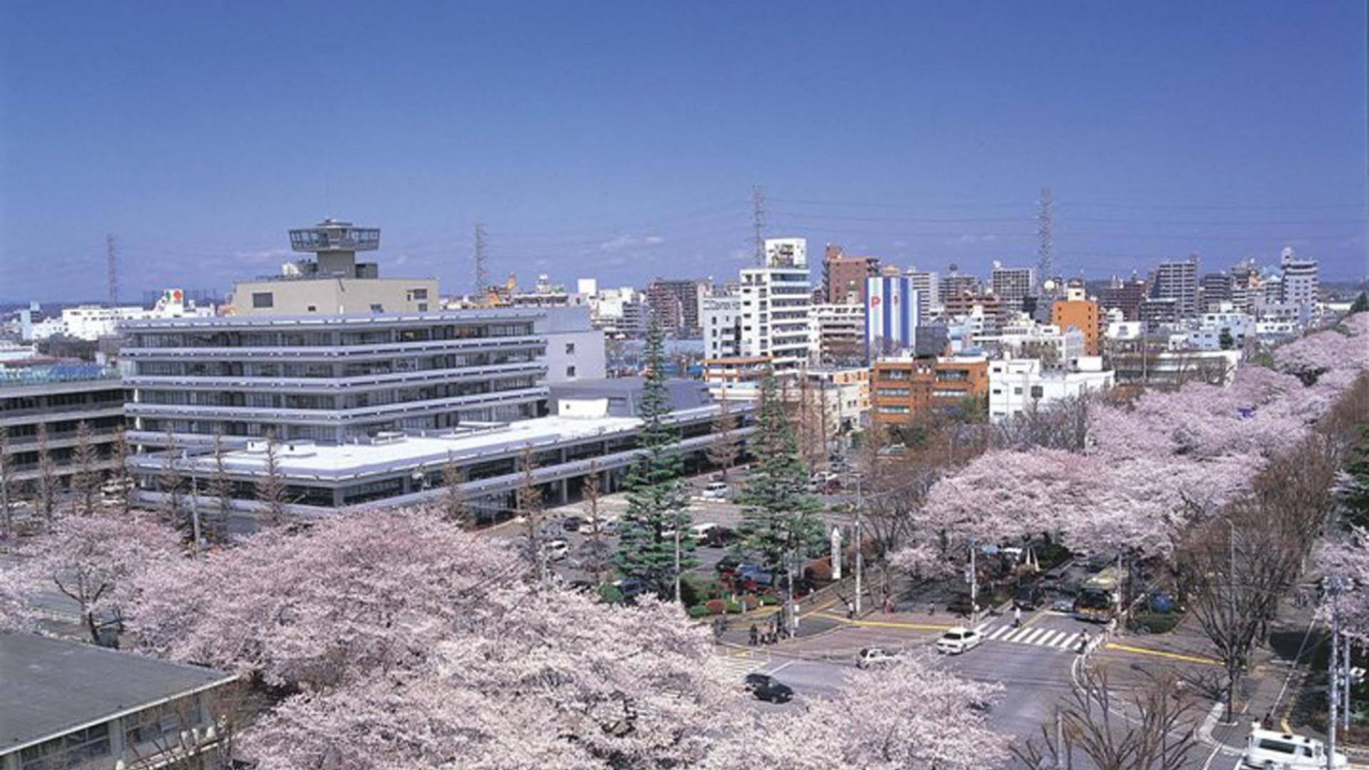 ถนนซากุระที่ศาลากลางเมืองสะกะมิฮะระ (ต้นซากุระ)