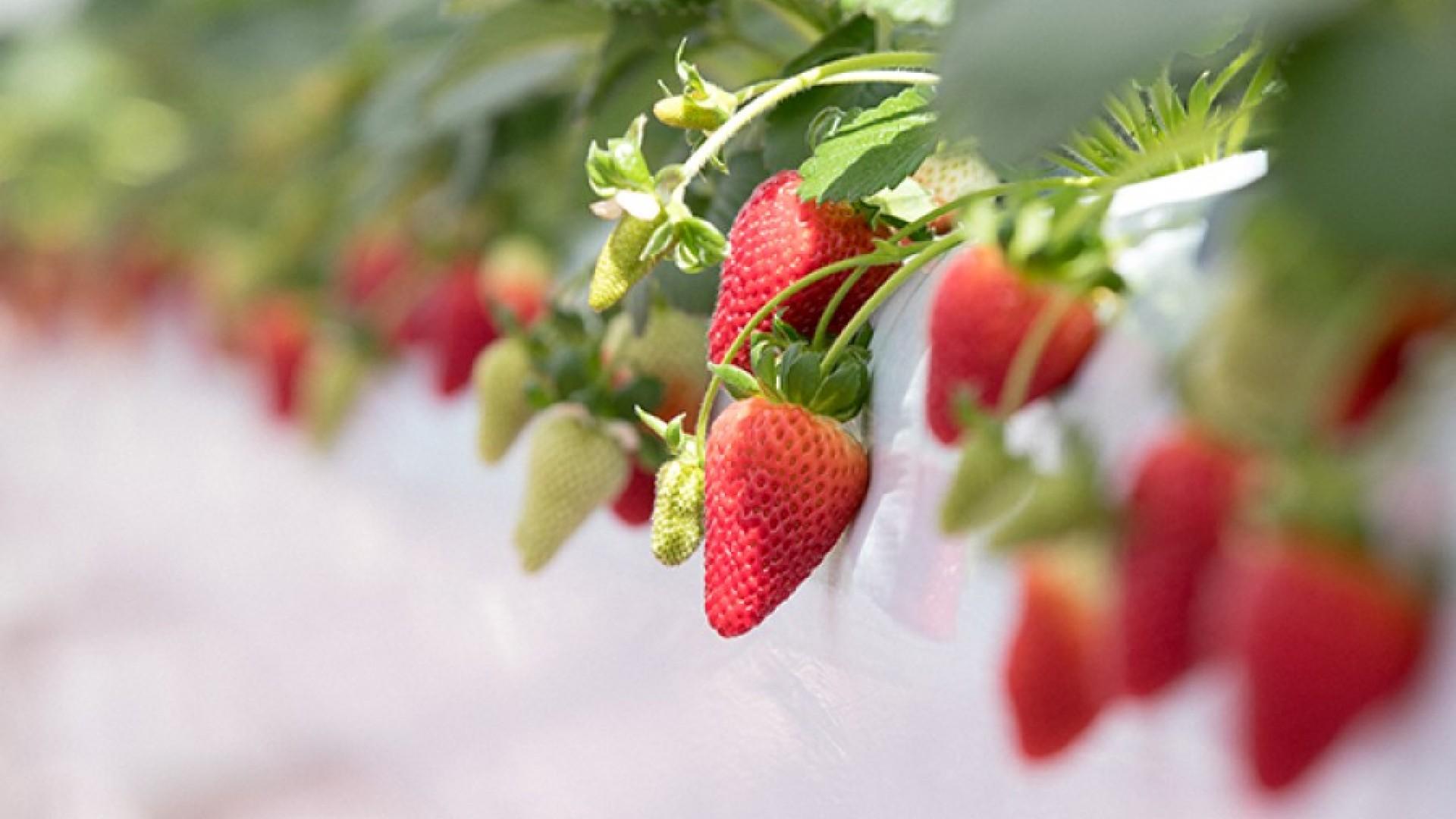 Parc TOKYO fraise