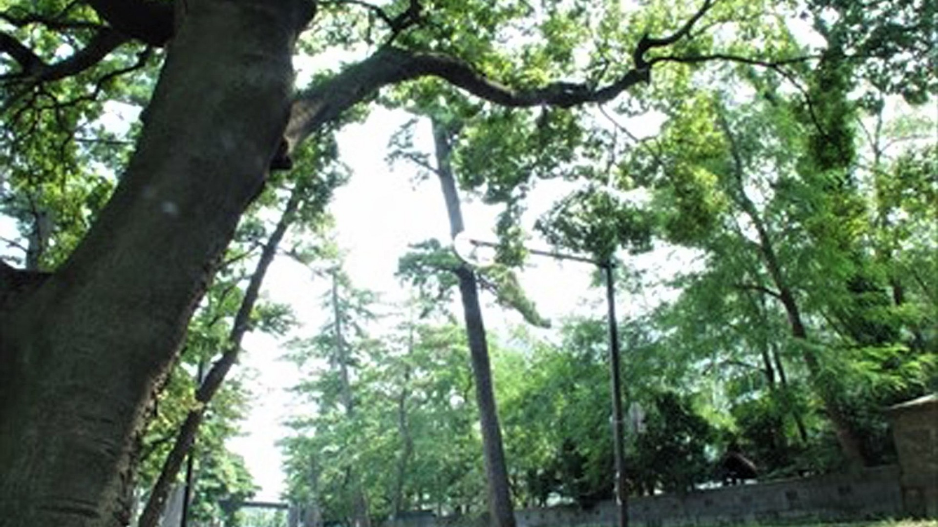舊東海道松樹道(大磯)