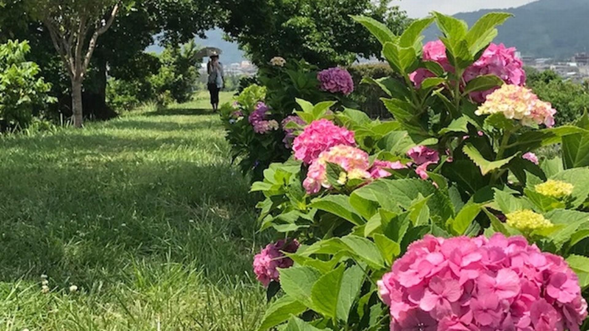 鹤卷绣球花散步小道