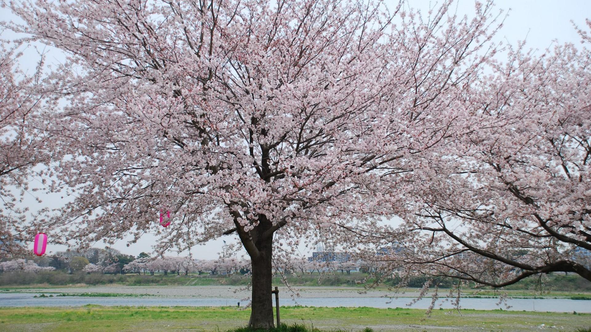 """Sakura bank of """"Ikimonogakari""""(cherry blossoms)"""