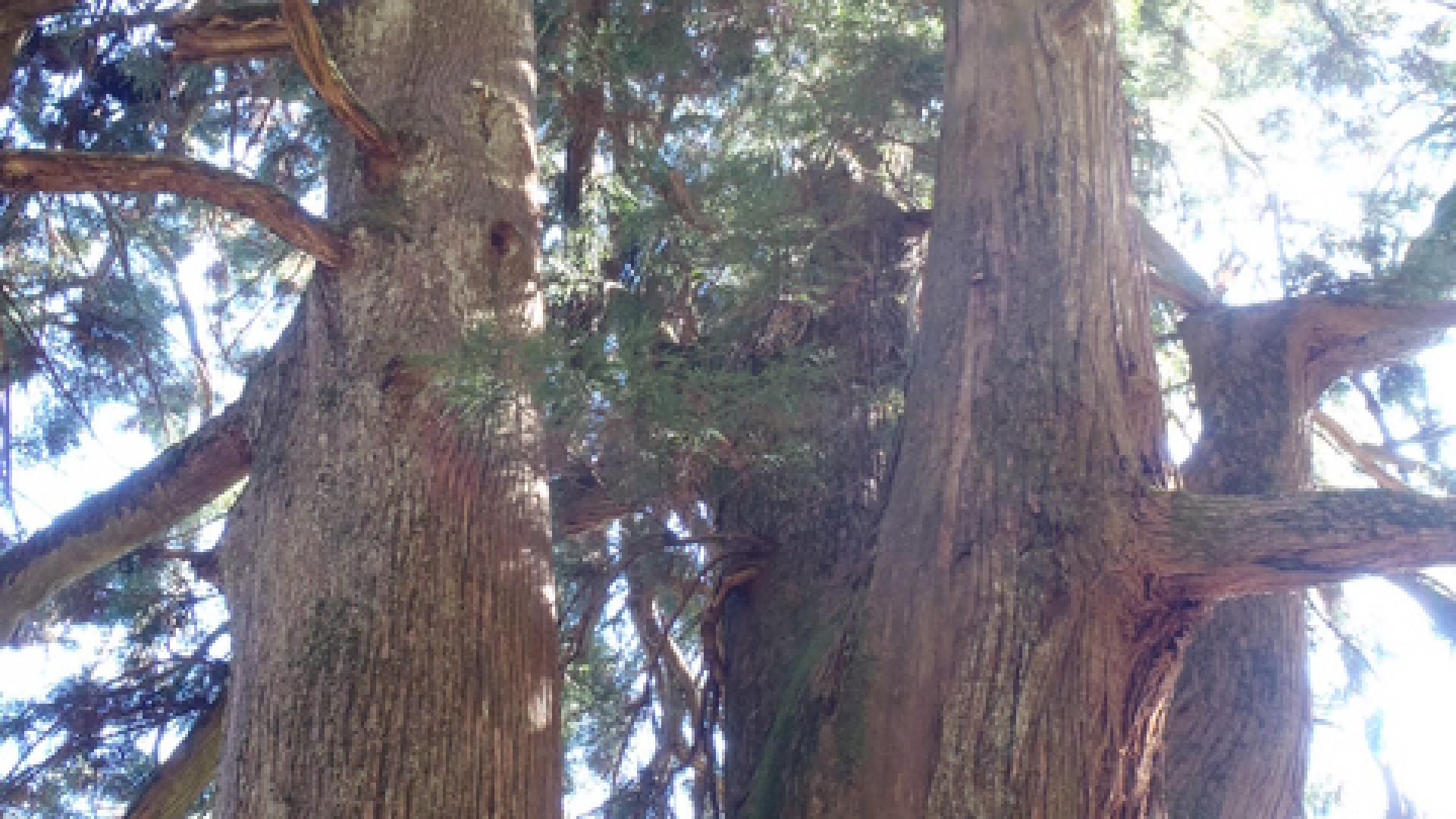메오토스기(커플삼나무)