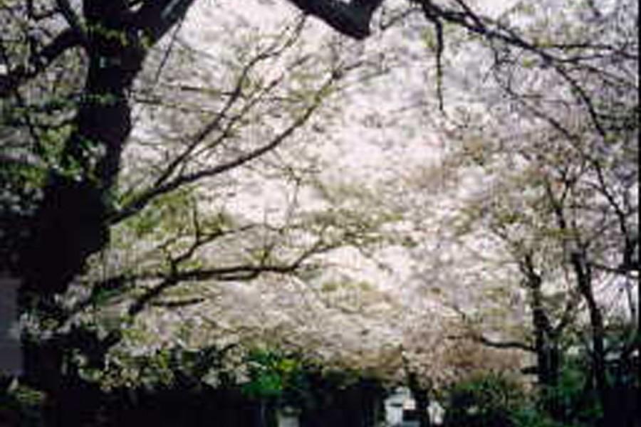 Kirschblütenbäume vom Berg Kamakura (Kirschblüten)