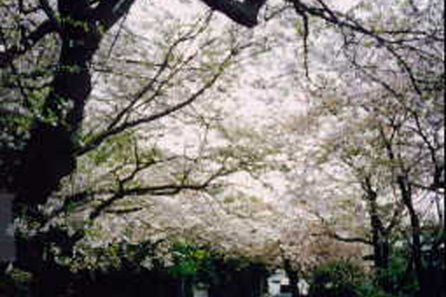 Hoa anh đào trên núi Kamakura