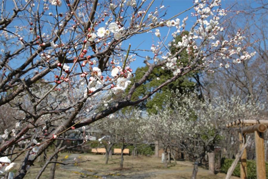Công viên Wakamiya, Vườn mơ