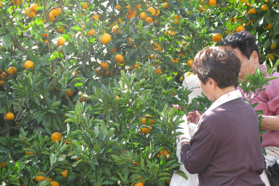Picking up Mandarins at Shonan-Ninomiya - 1