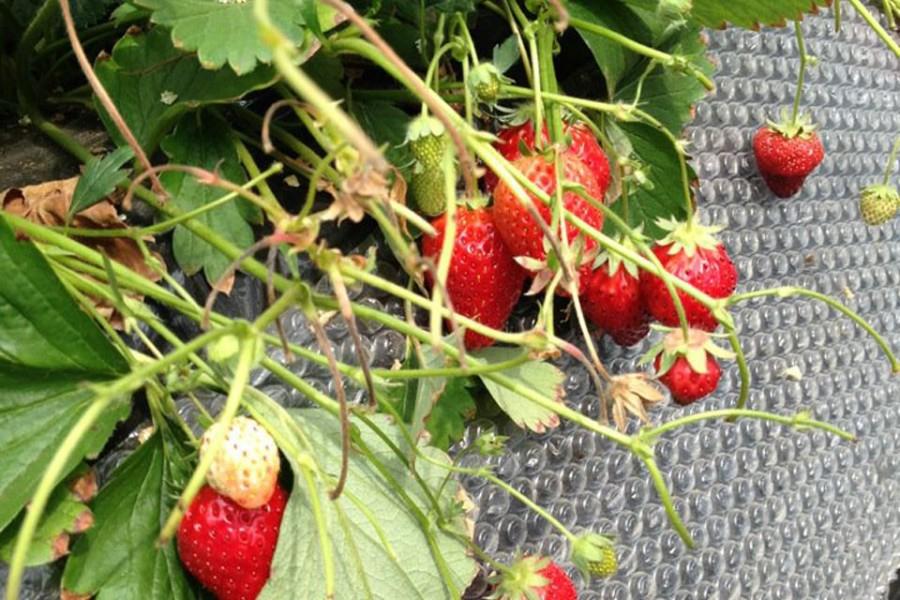 Plantation Kayama pour la ceuillette des fraises - 2