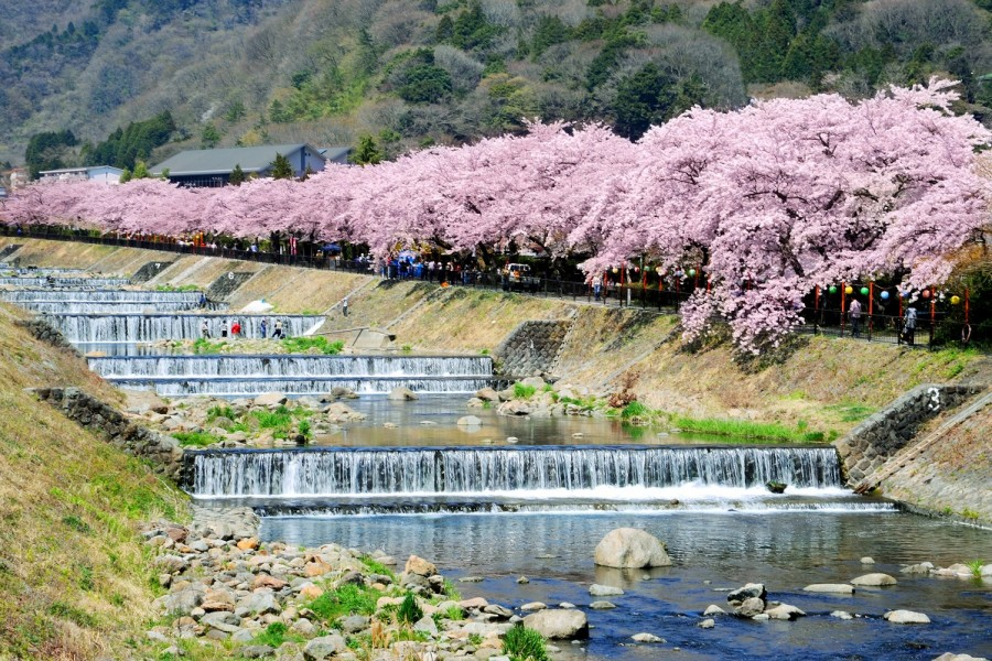 The Cherry Blossom Trees of Hakone(cherry blossoms)