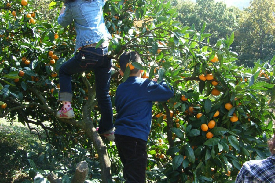 Oiso Fruit Orchard / Mikan picking