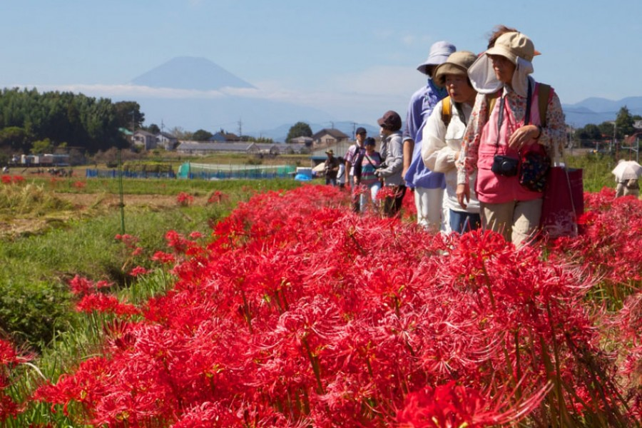 Koidegawa Red Spider Lily Festival - 2
