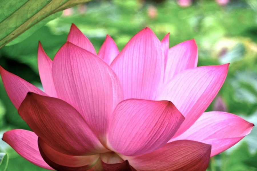 Hasu Ike (Lotus Teich)