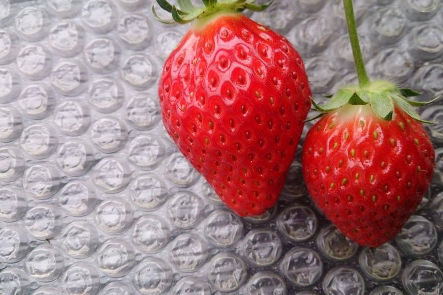 Plantation Kayama pour la ceuillette des fraises - 1