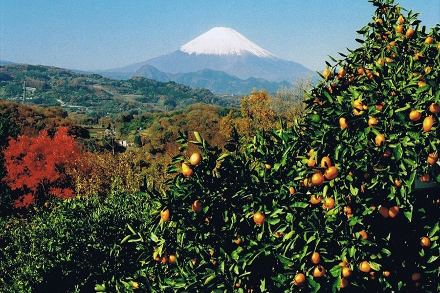 Picking up Mandarins at Shonan-Ninomiya - 2