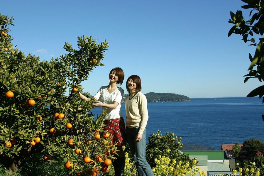 Yugawara Mandarin Picking - 2