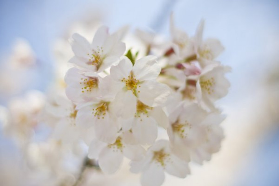 Tsunashima Kirschblüten Festival (Kirschblüten)