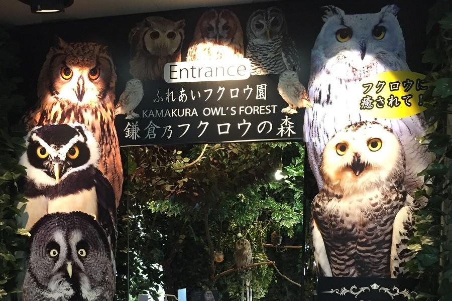 Rừng cú Kamakura - 2