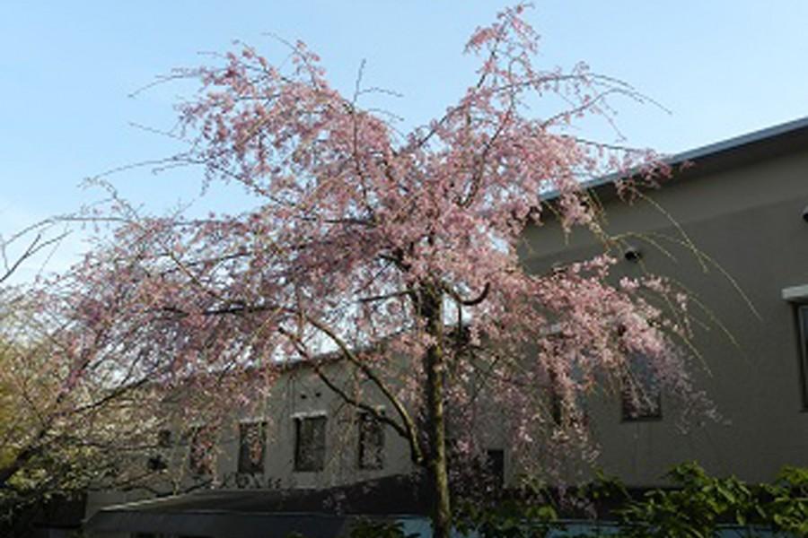 長倉美肌桜(上郷・森の家)(お花見)