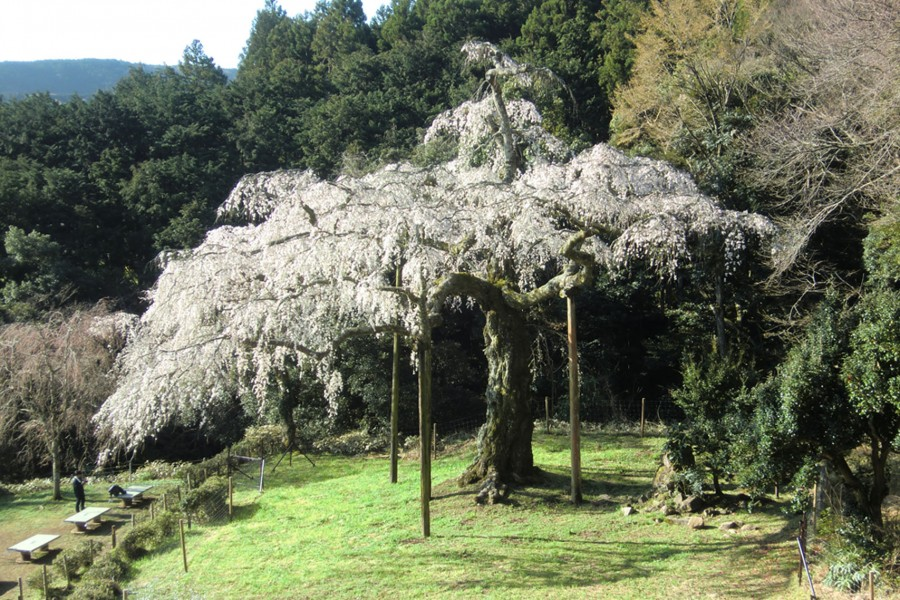 Chōkōzan Shōtai-ji Weeping Cherry(cherry blossoms) - 2