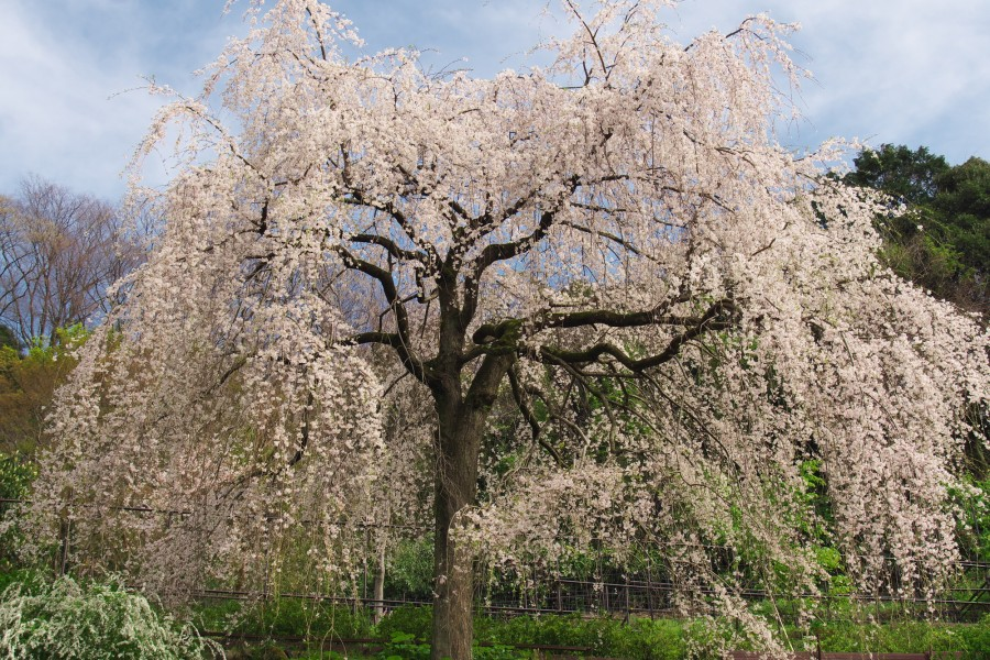 Chōkōzan Shōtai-ji Weeping Cherry(cherry blossoms) - 1