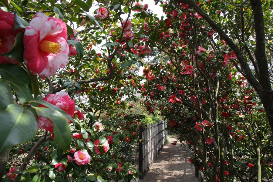 冰室茶花庭園