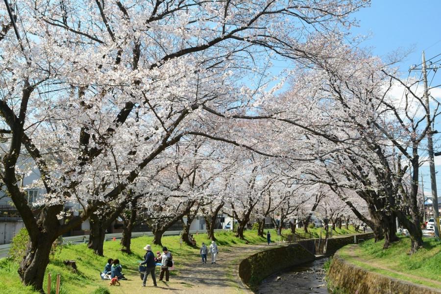千本桜(引地川)