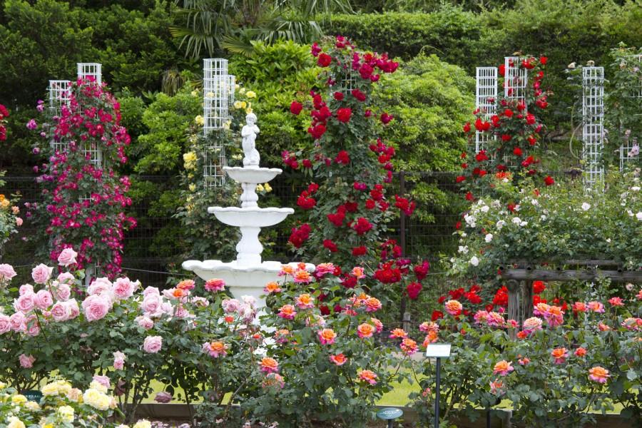 Ikuta Ryokuchi Rose Garden - 2