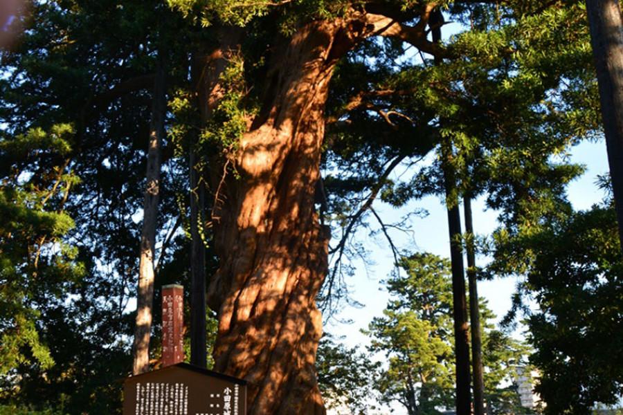 Cây thông khổng lồ ở Công viên Thành cổ Odawara