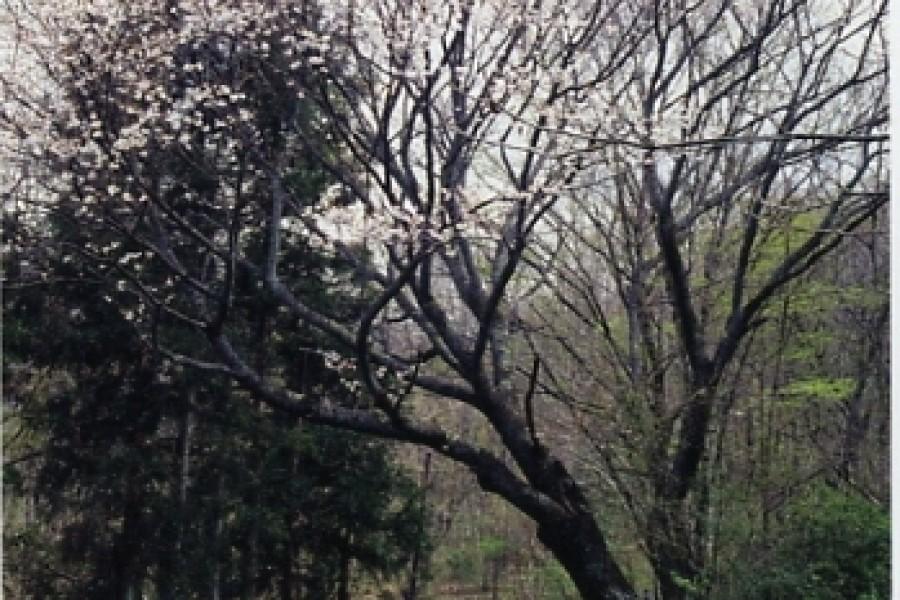 Yoritomo Sakura(cherry blossoms) - 1