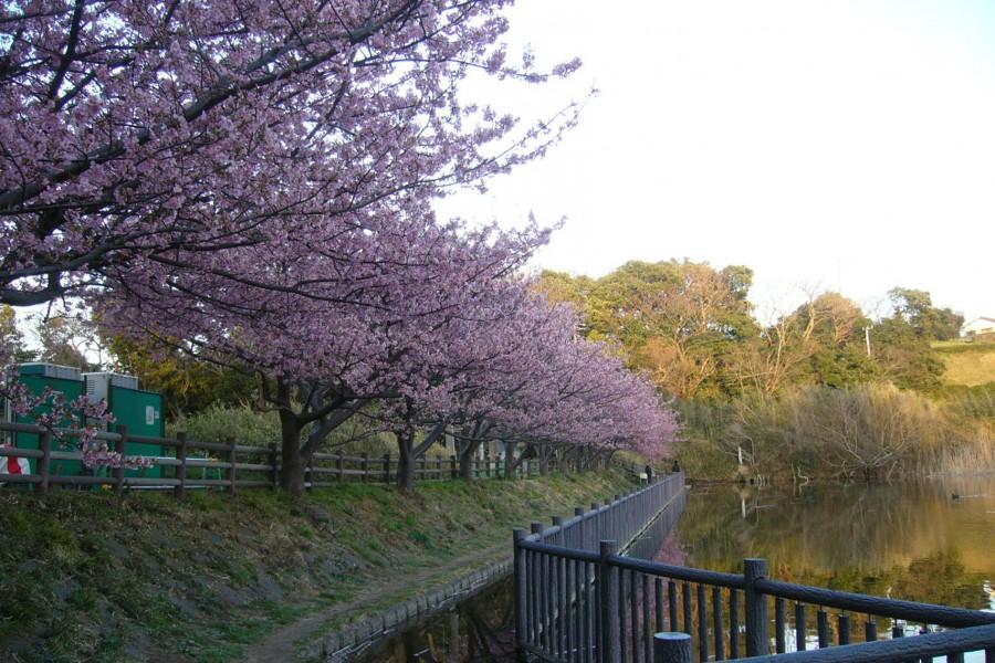 三浦海岸樱花节 - 2