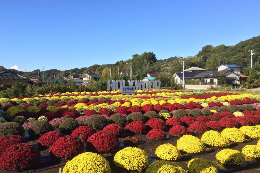Tsuchiya Chrysanthemengarten