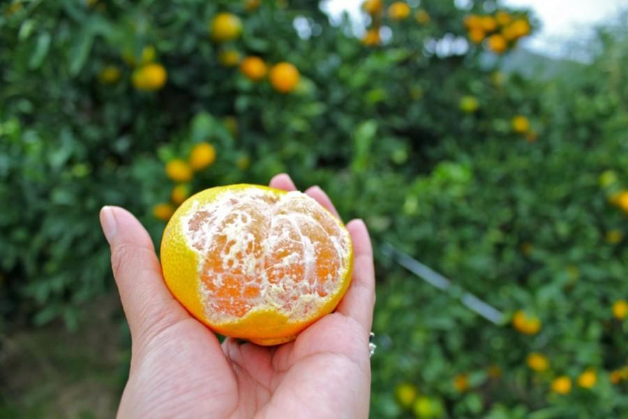 Yugawara Mandarin Picking - 1