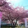 Le festival des cerisiers en fleurs de Miura Kaigan